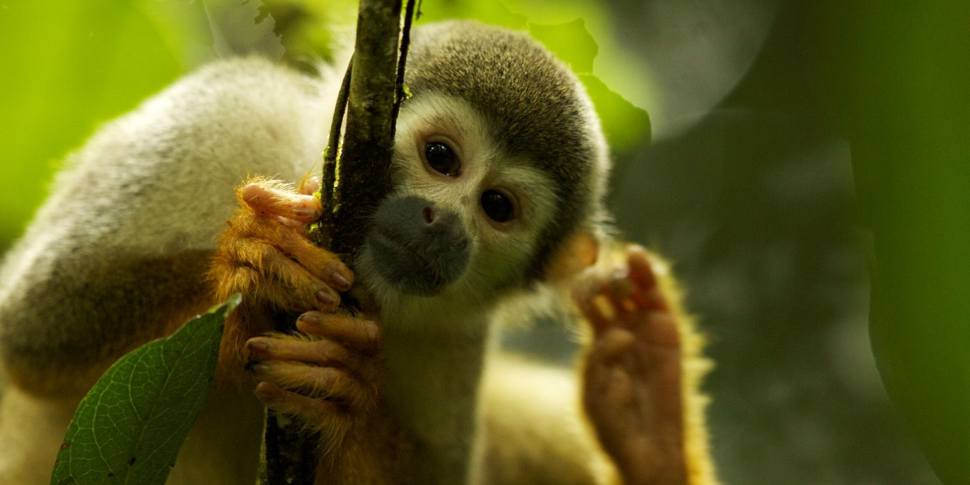 A squirrel monkey clings to the branch of a tree.