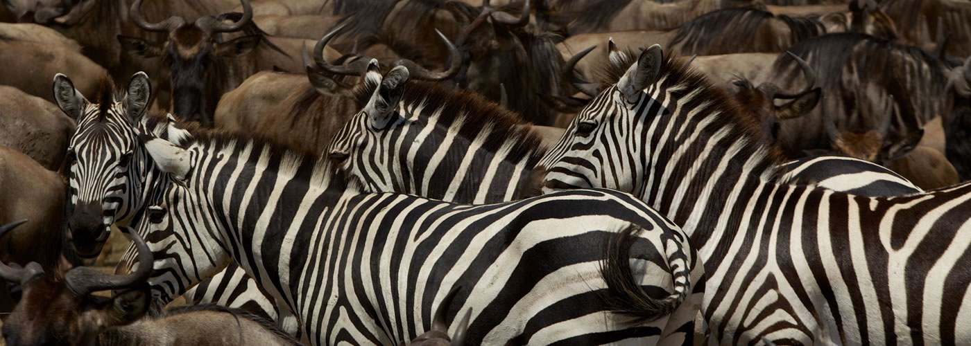 Mixed herds of Burchell's zebra and wildebeest on the move in the plains of the Serengeti. Serengeti National Park, Tanzania.