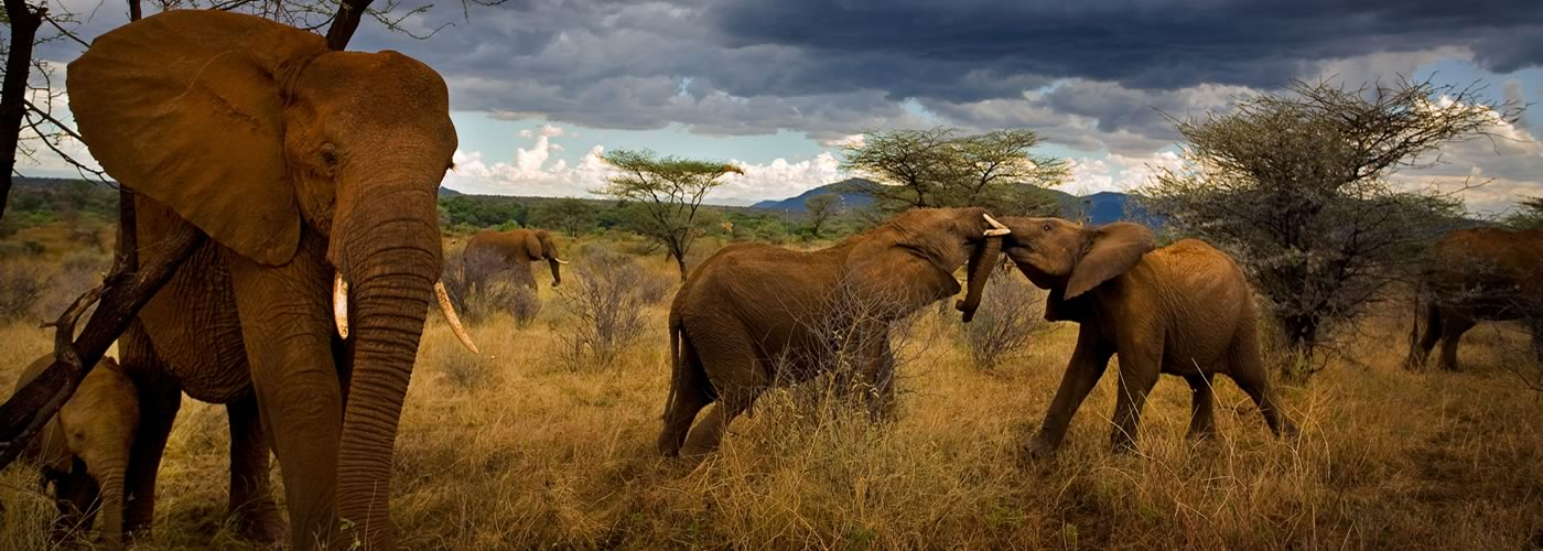 Adolescent elephants tussle amiably. Samburu National Reserve, Kenya. Photographer: Michael Nichols